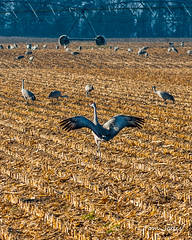 Sandhill Cranes_Field_2-1 (Tom Jodis) Tags: field sandhillcranes nebraska migration