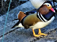 I Had Too Much To Dream Last Night (hope2029) Tags: mandarin duck male sunshine adel dam leeds west yorkshire