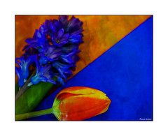 Orange And Blue Duet (paulinecurrey) Tags: macromondays orangeandblue colourduet colourduel orange blue contrast texture textures hmm 3x3 hyacinth tulip bluehyacinth orangetulip orangecarrierbag bluecard opposite opposites differentiation floral flowers flora fleur plant petals modern orangetriangle bluetriangle shape spring art artistic creative canon digital plants colourinversion geometry blueandorange