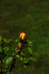 DSC_5466 (PeaTJay) Tags: nikond750 reading lowerearley berkshire macro micro closeups gardens outdoors nature flora fauna plants flowers rose roses rosebuds