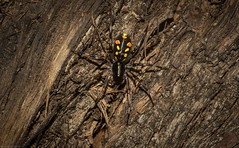 Subasteron daviesae (dustaway) Tags: arthropoda arachnida araneae araneomorphae zodariidae subasterondaviesa daviesantspider australianspiders spideronbark tallowwood upperspringgrove richmondvalley northernrivers nsw nature australia