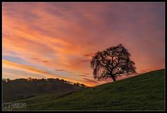 Perched on Top [Explored] (Aaron M Photo) Tags: 2017 aaronmeyersphotography bayarea california d700 dish february nikon nikond700 oak oaktree paloalto sunrise thedish escaype green hills spring tree