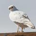 The Ghost Hawk (Robin-Wilson) Tags: leucistic redtailed hawk