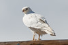 The Ghost Hawk (Robin-Wilson) Tags: leucistic redtailed hawk