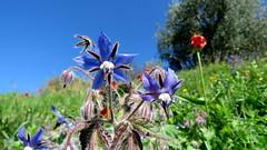 Bourrache officinale (bernard.bonifassi) Tags: bb088 06 2017 mars counteadenissa nice fleur collinesdenice bourracheofficinale alpesmaritimes