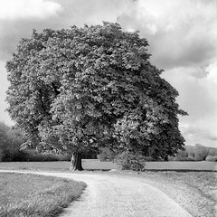 Mamiya107 (salparadise666) Tags: mamiya c330 sekor 80mm bw orange filter fomapan 100 boxspeed caffenol cl semistand 30min nils volkmer vintage camera square medium 6x6 format monochrome black white landscape nature rural tree contrast hannover region niedersachsen germany