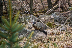Ground hog 4-5-17 2 (sw_bobster) Tags: woodchuck