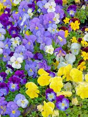 Viola / Pensées (DouxVide) Tags: france gx8 mft m43 purple yellow flower bokeh spring nature petals