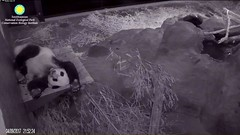 2017_04-09c (gkoo19681) Tags: beibei sleepyhead fuzzywuzzy feetsies adorable passedout toocute stillababy ccncby nationalzoo