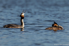 Mergulhão-de-crista, Great Crested Grebe (Podiceps cristatus) (valadares.vasco) Tags: mergulhãodecrista greatcrestedgrebe podicepscristatus bird birds animal animals wildlife nature feather feathers