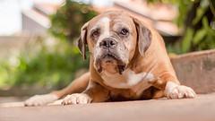 Dog portrait (Vinicius_Ldna) Tags: 4511 strobist hss highspeedsync yn622cii yn568exii canon t3i 50mm bokeh nina boxer pet dog love care caress cachorro londrina brazil