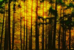 TWILIGHT IN THE FOREST (Aspenbreeze) Tags: californiacoasst trees redwoods twilight dusk evening sunset nature outdoors bevzuerlein aspenbreeze moonandbackphotography