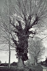 over grown (Behni88) Tags: over grown über wachsen zarost zarastane tree arbre baum bäume tress arbres drzewo drzewa grau grey szare szary szara white weis vhit blanc noir schwarz czarny weg wandern sciezka droga wendrowka efeu blätter äste zweige pien galezie stamm himmel niebo ciel sky