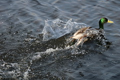 228 (AO'Brien) Tags: arklow wicklow autumn birds duck
