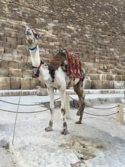 Pyramids of Giza (alexismarija) Tags: pyramidsofgiza cairo egypt history architecture camels animal pyramid unesco sevenwonders ancient wondersoftheworld sevenwondersoftheworld