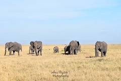 Elephants in Masai Mara (Aoon Mujtaba) Tags: traveller traveldiaries travelblogs travelling travels travel travelphotographer wildlife wildness blogger worldtour