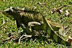 Iguana (MariaTere-7) Tags: animal iguana parque del este generalísimo francisco de miranda caracas venezuela maríatere7