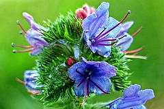 viper's bugloss herb (csimion77) Tags: vipersbugloss herb naturaltreatments antibiotics emollient fatigue anemia impotence