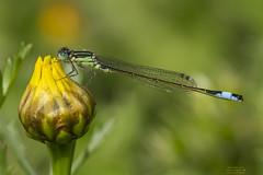 Elegans (Pipa Terrer) Tags: ischnuraelegans campodecartagena odonata caballitodeldiablo zigoptera