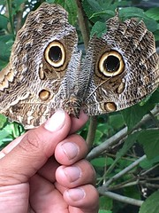 Mimicking an Owl (vischerferry) Tags: owlbutterfly butterfly mimicry animal apple iphone caligo iphone6splus panama elvalledeanton