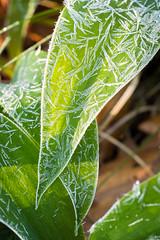 Bärlauch gefrostet-2757 (Holger Losekann) Tags: makro bärlauch frost blätter leafs macro coldmorning