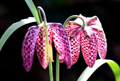 Fritillarias shine. (pstone646) Tags: flowers flora closeup petals nature sunshine purple plants