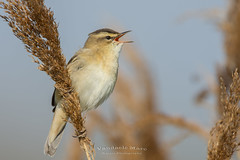 sedge warbler (fire111) Tags: sedge warbler rietzanger bird birding wild wildlife reed singing