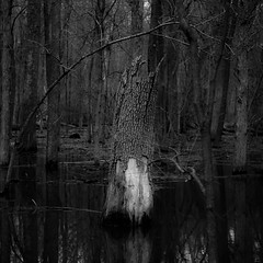 Flooded Banks 009 (noahbw) Tags: captaindanielwrightwoods d5000 dof nikon abstract blackwhite blackandwhite blur branches bw decay decaying depthoffield forest landscape monochrome natural noahbw quiet spring square still stillness treebark treetrunk trees water weathered woods