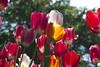 _DSC0751 (Riccardo Q.) Tags: parcosegurtàtulipani places parco altreparolechiave fiori tulipani segurtà