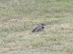 Flicker in the grass (jamica1) Tags: bird penticton okanagan bc british columbia canada flicker grass lawn