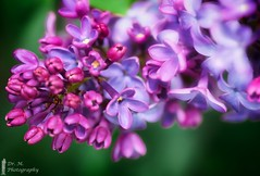Lilac Blooms (Dr. M.) Tags: lilac blooms nikon d500 500px dreamy selectivefocus hdr ohio