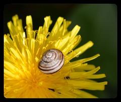 Snail & Dandy (suekelly52) Tags: snail dandelion flower snailsaturday insect beetle pollenbeetle