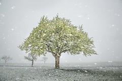 April Schnee (SonjaS.) Tags: schnee snow bäume baum tree april wetter schneefall canon6d deutschland germany kalt outdoor landscape blüte birnbaum frühling spring schneegestöber