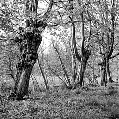 Mamiya066 (salparadise666) Tags: mamiya c330 sekor 80mm fuji neopan acros 100400 caffenol cl semistand 36min vintage camera tlr medium format square 6x6 bw monochrome nature landscape hannover region niedersachsen germany contrast tree wood plant row line diagonal
