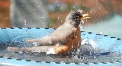 Robin Bath (starmist1) Tags: birdbath robin splashing bathing fun happy bird