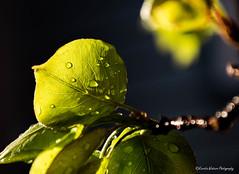 DSC_0699 (Kerstin Winters Photography) Tags: d5500 tropfen zweig branch leaf closeup flickr water droplets nikondigital nikondsl nikon