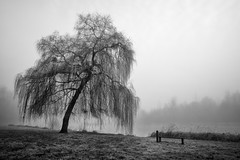 In the morning mist (Anne.Berger) Tags: weide nebel morningwillow trauerweide mist see lake