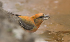 Crossbill (J J McHale) Tags: loxiacurvirostra crossbill commoncrossbill scotland nature wildlife