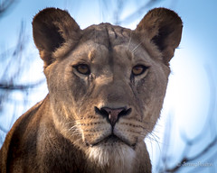 Lady Lion (JKmedia) Tags: lion pantheraleo male profile portrait newquayzoo zoo captivity fromlongleat blackbackground bigcats bigcat cat feline boultonphotography 2017 looking stare eyes ears