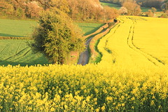 Evening Delight (acwills2014) Tags: yellow green fields rapeseed countryside rural landscape scenery gwent wales tracks contours countrylane lush crop blossoming evening delight spring