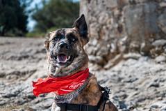 Dog in the wind (CAr Photographies) Tags: fontvieille provencealpescôtedazur france fr carphotography carphotographies cédricarenne nikond90 vent dog wind