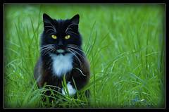 Yard Cat (J Michael Hamon) Tags: cat gato feline katze chat animal grass green outdoor pet vignette photoborder hamon nikon d3200 nikkor 55300mm pussy pussycat kitty