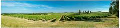 Vignes Sauveterre-de-Guyenne (regis.muno) Tags: nikond70 aquitainegirondevignes sauveterredeguyennesauveterredevignoble bordeauxbordeaux raisins vin wine vinegrapesvineyard pano panoramaaquitainefranceaquitaine gironde vignessauveterredeguyenne sauveterredeguyenne vignes
