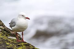 _DSC8982.jpg (David Hamments) Tags: ngc terrigal seagull