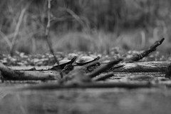 Two Turtles (J.Bierwas) Tags: turtle turtles black white bw 300mm ramapo reservation nature north american pond lake brook river water logs twigs sticks trees