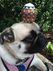 Easter pug (wombatarama) Tags: pysanky easteregg pug