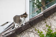 my new penthouse_03 (madtacker) Tags: katze dach haus outdoor stadt tier getigert panasonic lumix efeu fz1000
