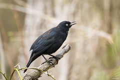 Rusty Blackbird (swmartz) Tags: rusty blackbird birds bird outdoors wildlife april mercercounty nikon nature newjersey 2017