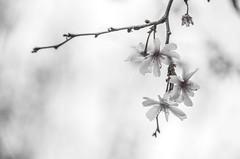 norland d. cruz photography: cherry blossoms at liberty park (norlandcruz74) Tags: black white cherry blossoms april 2017 spring springtime liberty state park nj new jersey us usa america norland cruz pinoy filam filipino