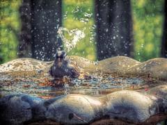Message From a Sparrow (clarkcg photography) Tags: water birdbath splash heart love thanks enjoy wash bathe fluffed message sparrow bird fauna sundayfauna7dwf 7dwf